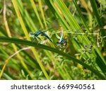 Mating Of Couple Dragonflies....