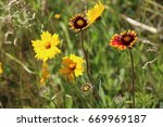 yellow coreopsis flowers in the ... | Shutterstock . vector #669969187