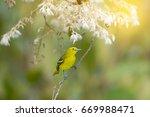 Small photo of Yellow bird with white flower. Bird perching alone, Green lora ( Aegithina viridissima ) ,female with sunlight ,blurred background.