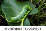 The Fat Green Caterpillar .wit...