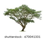 isolated raintree on white... | Shutterstock . vector #670041331