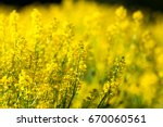 detail of flowering rapeseed... | Shutterstock . vector #670060561