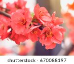 beautiful red sakura flowers... | Shutterstock . vector #670088197