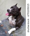 Small photo of American Staffordshire Terrier in the river