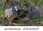 Male Common Wood Pigeon Courts...