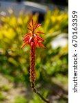 kniphofia   'royal standard'... | Shutterstock . vector #670163359
