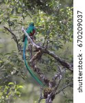 resplendent quetzal perched on... | Shutterstock . vector #670209037
