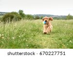 Stock photo cocker spaniel puppy runs with ball in mouth 670227751