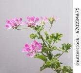 geranium fragrance  pelargonium ... | Shutterstock . vector #670234675