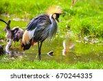 Crowned Crane. Africa Kenya.