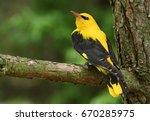 eurasian golden oriole  oriolus ... | Shutterstock . vector #670285975