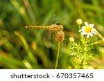black tailed skimmer  orthetrum ... | Shutterstock . vector #670357465