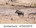 Warthog In African Savannah