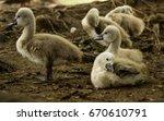 Siblings Of Baby Swan Are Lyin...