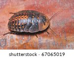 tropical cockroaches on a tree... | Shutterstock . vector #67065019