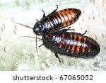 tropical cockroaches on a tree... | Shutterstock . vector #67065052