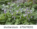 Blooming Hostas In The Garden