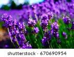 beautiful lavender fields.... | Shutterstock . vector #670690954