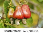 freshness ripe red cashew nut... | Shutterstock . vector #670701811