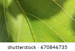 Small photo of leaf venation of abaxial