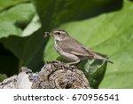 bluethroat female sitting on... | Shutterstock . vector #670956541