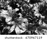 lily flowers. black and white... | Shutterstock . vector #670967119