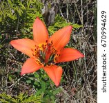 Small photo of Wood lily