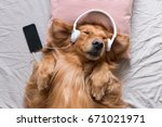Stock photo the golden retriever wearing headphones listening to music 671021971