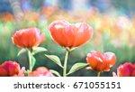 flower peony flowering against... | Shutterstock . vector #671055151