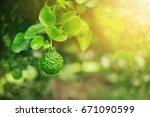 bunch of green bergamot on... | Shutterstock . vector #671090599