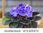 violet saintpaulias flowers... | Shutterstock . vector #671105371