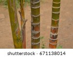 close up shot of sugarcane | Shutterstock . vector #671138014