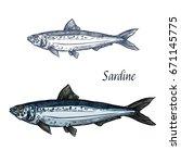 sardine fish vector sketch icon.... | Shutterstock .eps vector #671145775