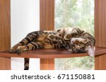 Cat Breed Toyger Resting On...