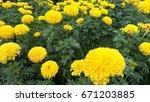 garden marigold yellow.   Shutterstock . vector #671203885