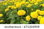 garden marigold yellow.   Shutterstock . vector #671203909