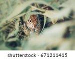 Eastern Chipmunk Sitting On A...
