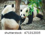cute small baby pandas playing... | Shutterstock . vector #671312035