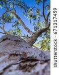 Small photo of Eucalyptus Tree