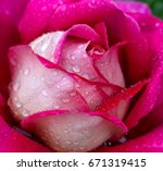 Stock photo pink rose closeup with water drops 671319415