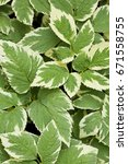 Small photo of Perennial ground cover ornamental plant Aegopodium podagraria Variegata with beautiful green-white leaves. Nature floral background.