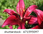 Single Pink Tiger Lily Flower