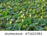 Small photo of American lotus in bloom on a marsh in Missouri.
