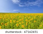A field of sunflowers, Thailand - stock photo