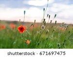 poppy and wild grass. blurry