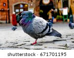 A Fat Pigeon At Warsaw Old Tow...