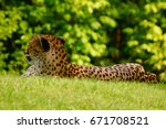A Cheetah Relaxes In The Shade...