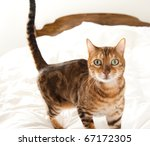 Stock photo cute cat jumped on owner s bed 67172305