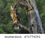 Wild Europaean Long Eared Owl...