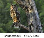 Wild Europaean Long Eared Owl...